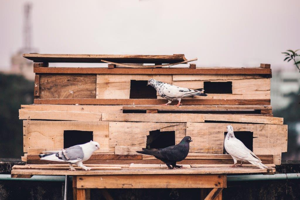 Zakat on Pigeons As a Source ofLivelihood?